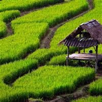 Rice Field Landscape iPad Air wallpaper