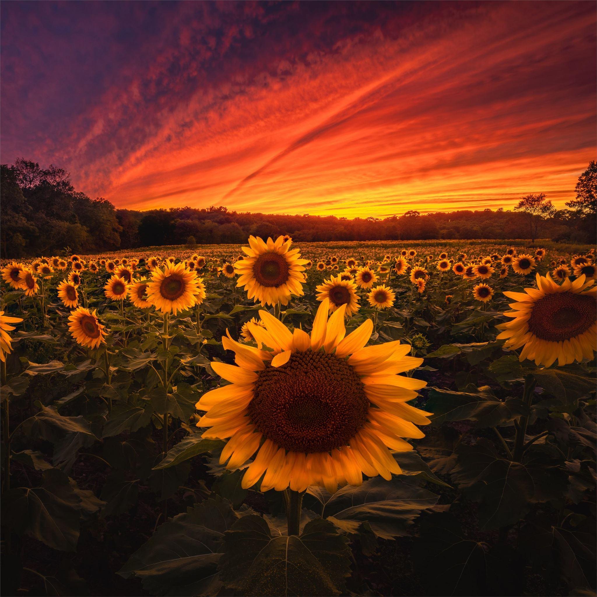 Aesthetic Sunflower Sunset Wallpaper - Wallpaper HD New