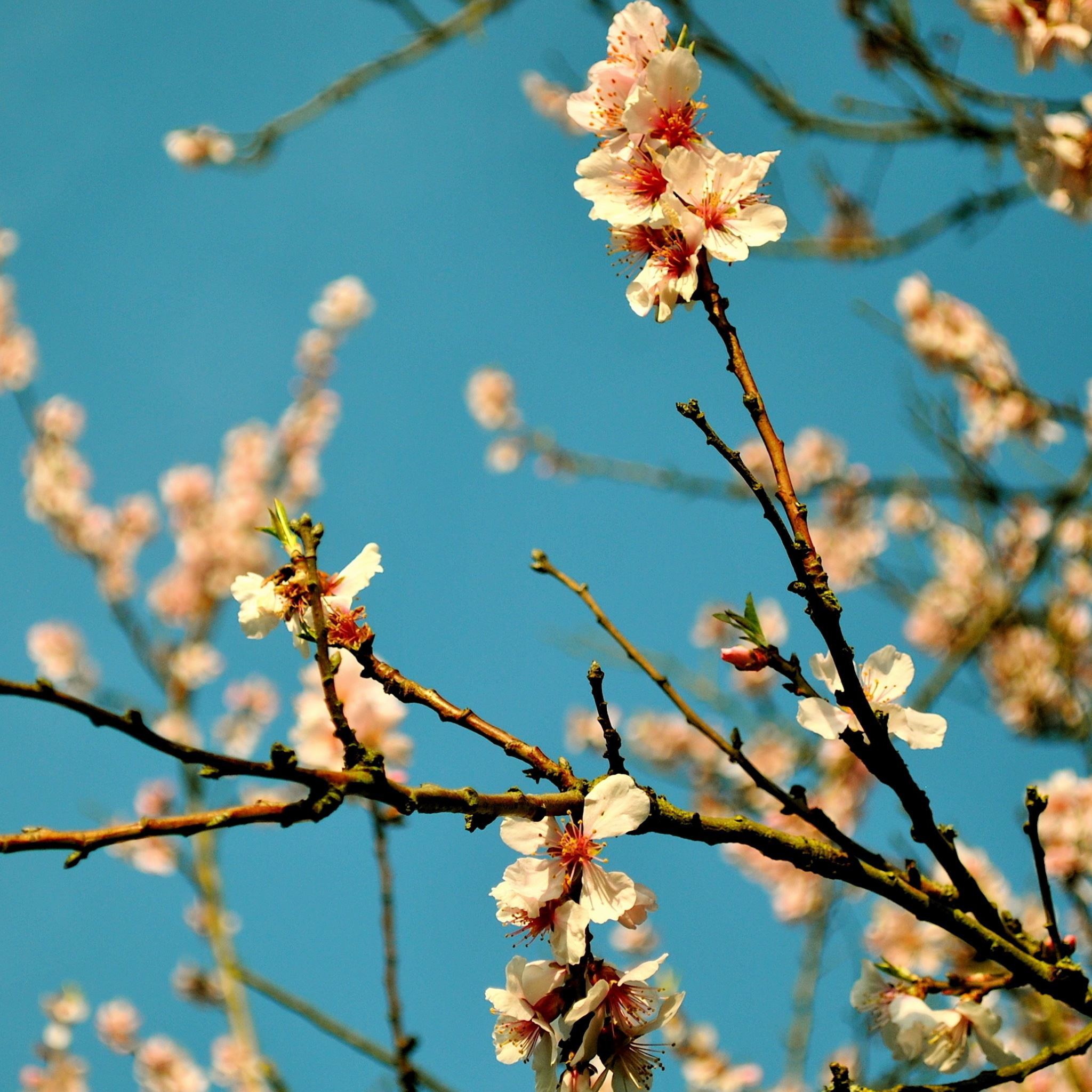 Cool Spring Wallpapers: Peach Flowers Spring IPad Air Wallpapers Free Download