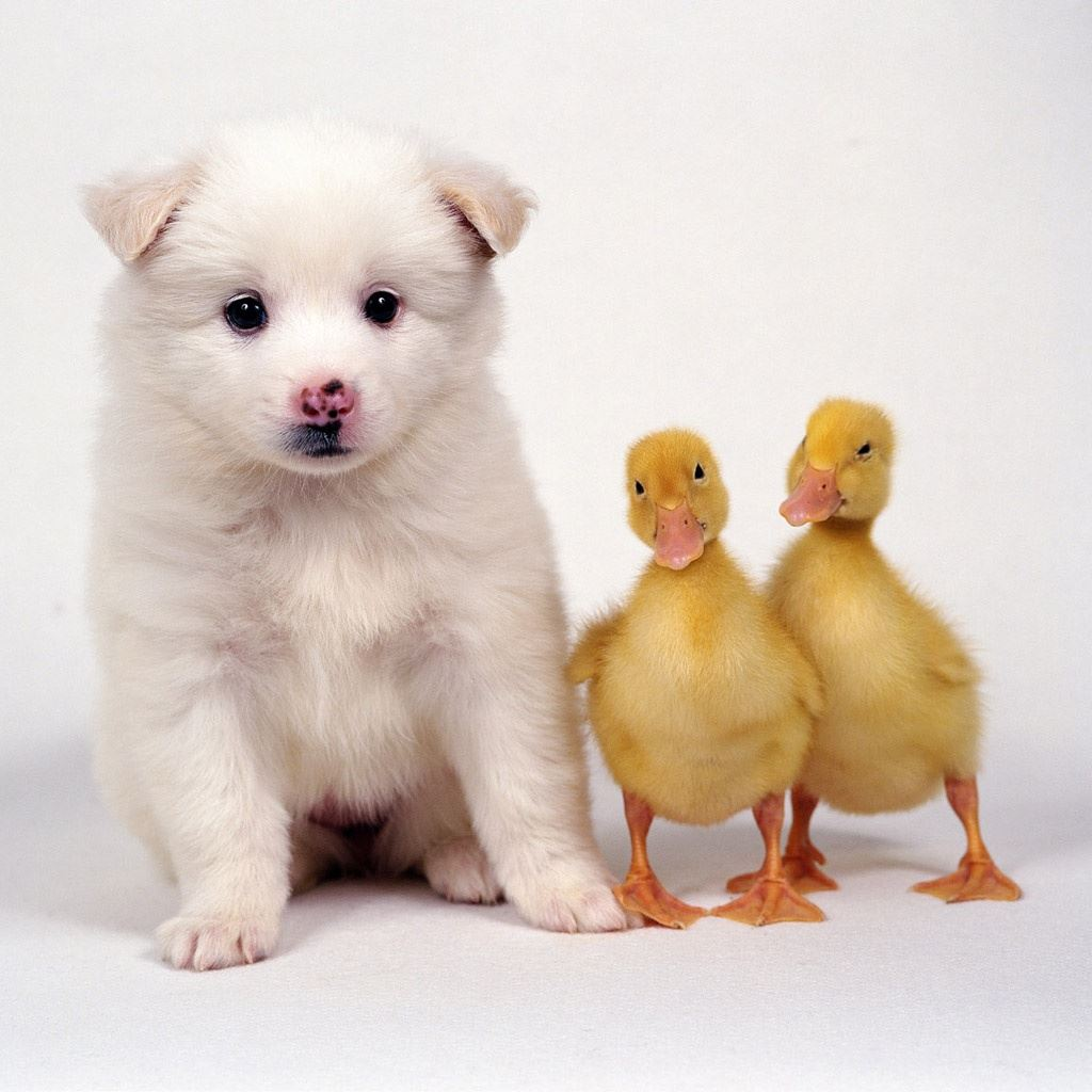 lovely puppy duckies ipad wallpaper download | iphone wallpapers