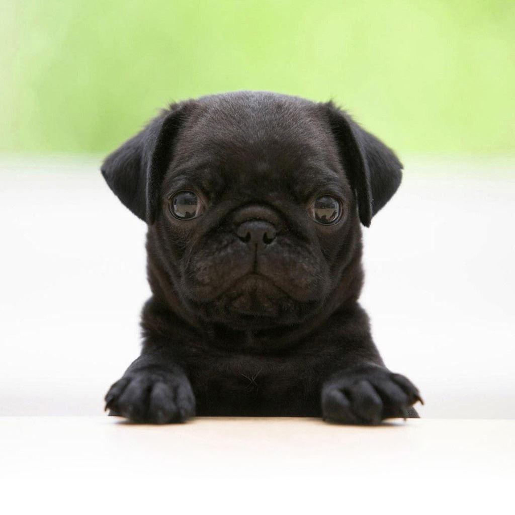 Black Pug Ipad Wallpapers Free