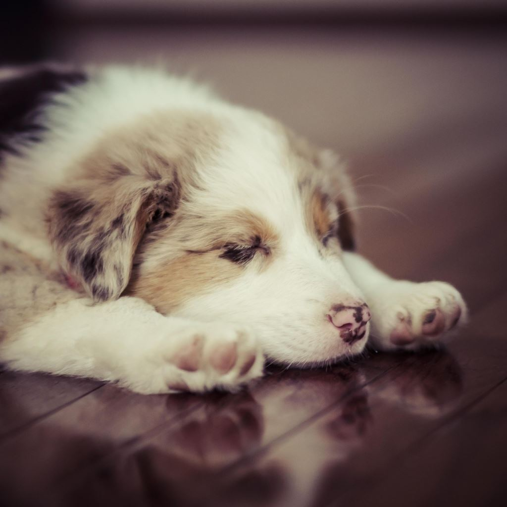 Puppy Dog Sleep Spotted Ipad Wallpapers Free Download