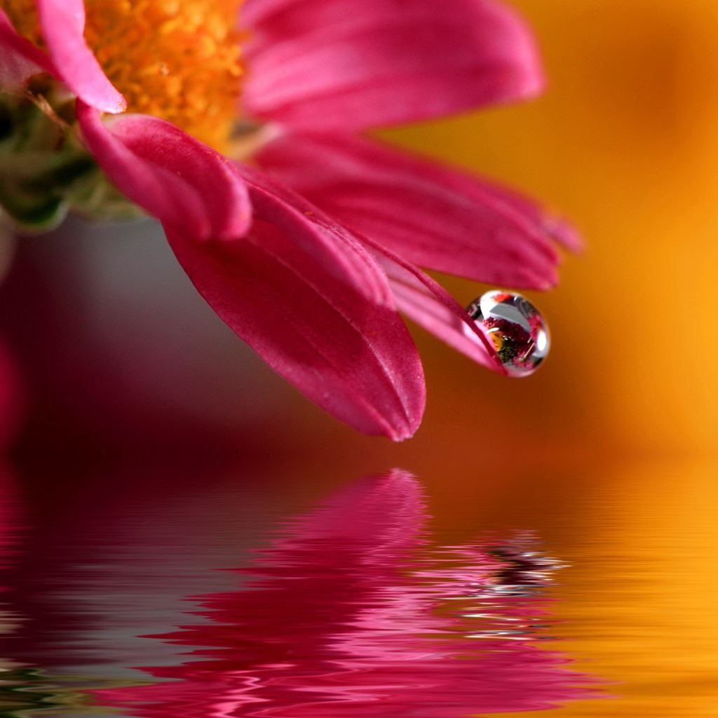Pure Flower Dew Macro Over Water Surface IPad Wallpaper