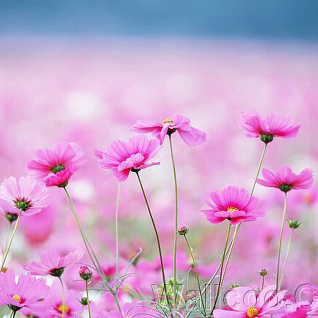 Happy Galsang Flower Field Blur IPad Wallpaper Download