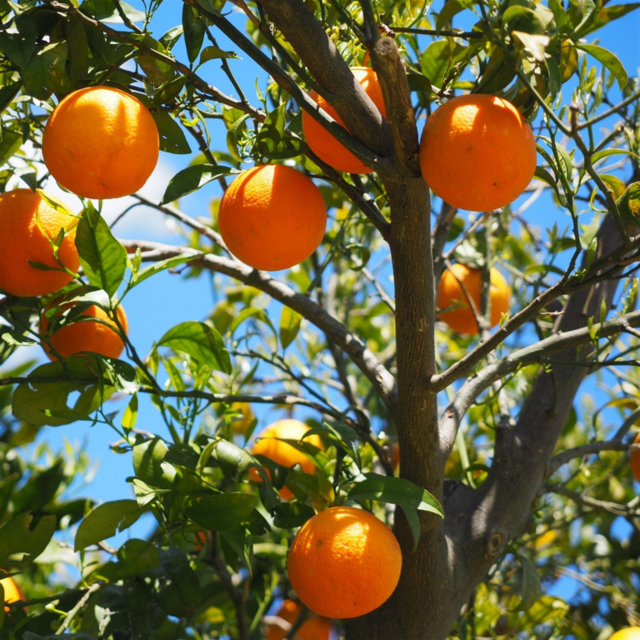 Oranges Fruit Orange Tree Citrus iPad wallpaper