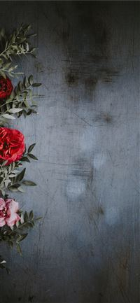 shallow focus photography of red and pink roses iPhone 11 wallpaper