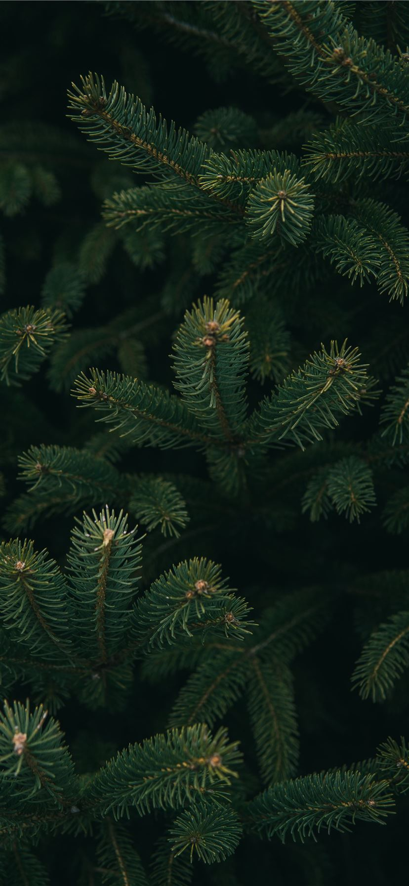 close up photo of green Christmas tree iPhone 11 wallpaper