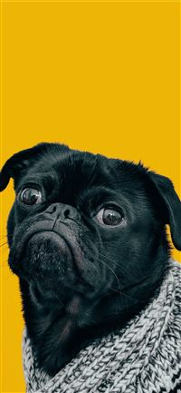 black pug with gray knit scarf iPhone 11 wallpaper