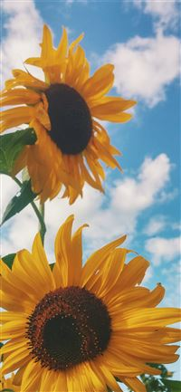 closeup photo of sunflower iPhone 11 wallpaper