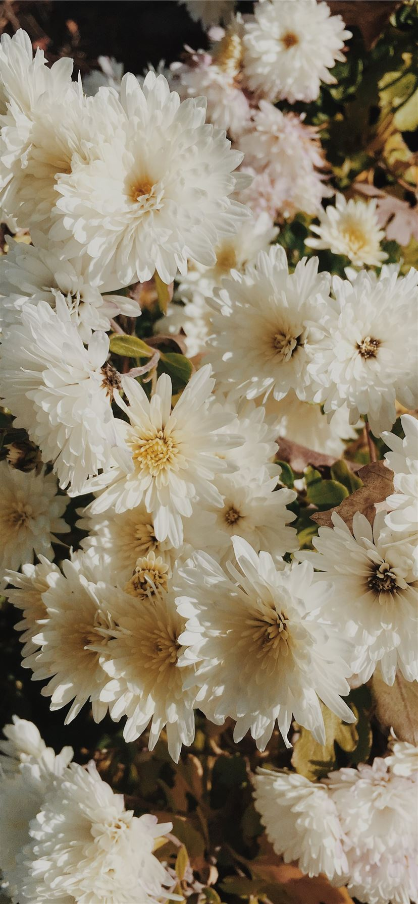 bouquet of white daisy flowers iPhone 11 wallpaper