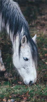 white horse grazing on grass in selective focus ph... iPhone 11 wallpaper