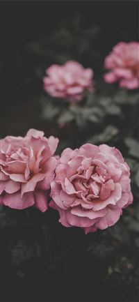 selective focus of two pink petaled flowers iPhone 11 wallpaper