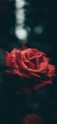 Rose and raindrops iPhone 11 wallpaper