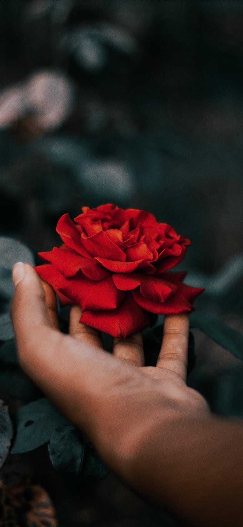 Best Rose Iphone 11 Wallpapers Hd Ilikewallpaper