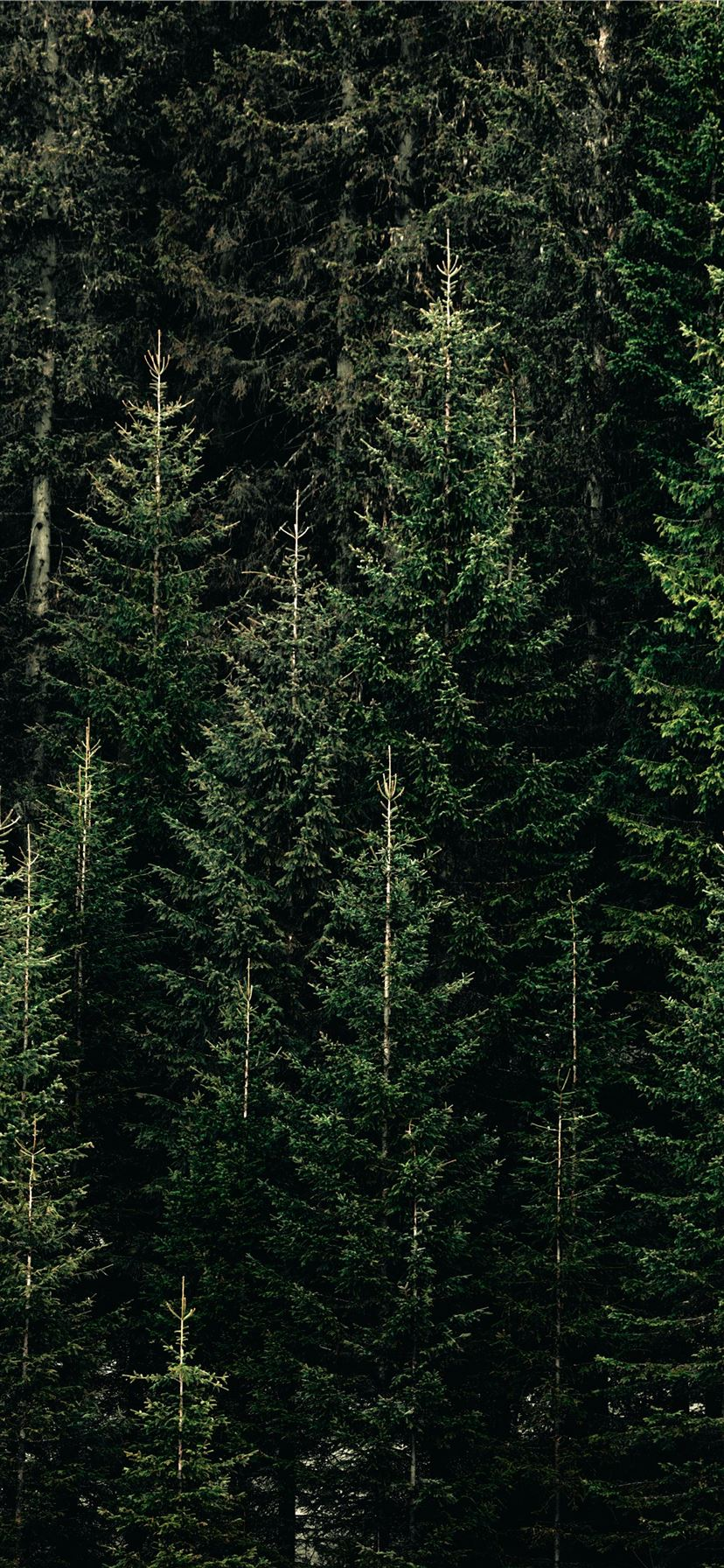 Green Forest With Pine Trees Iphone 11 Wallpapers Free Download