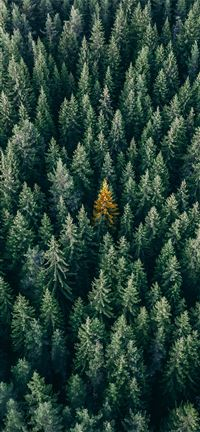 aerial photo of pine trees iPhone 11 wallpaper