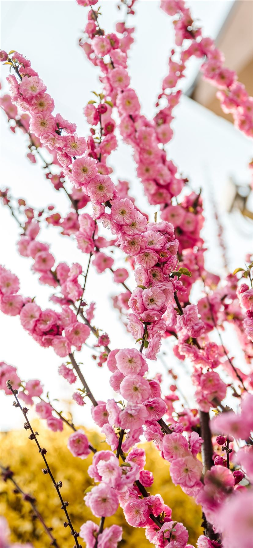 Best Cherry Blossom Iphone 11 Wallpapers Hd Ilikewallpaper