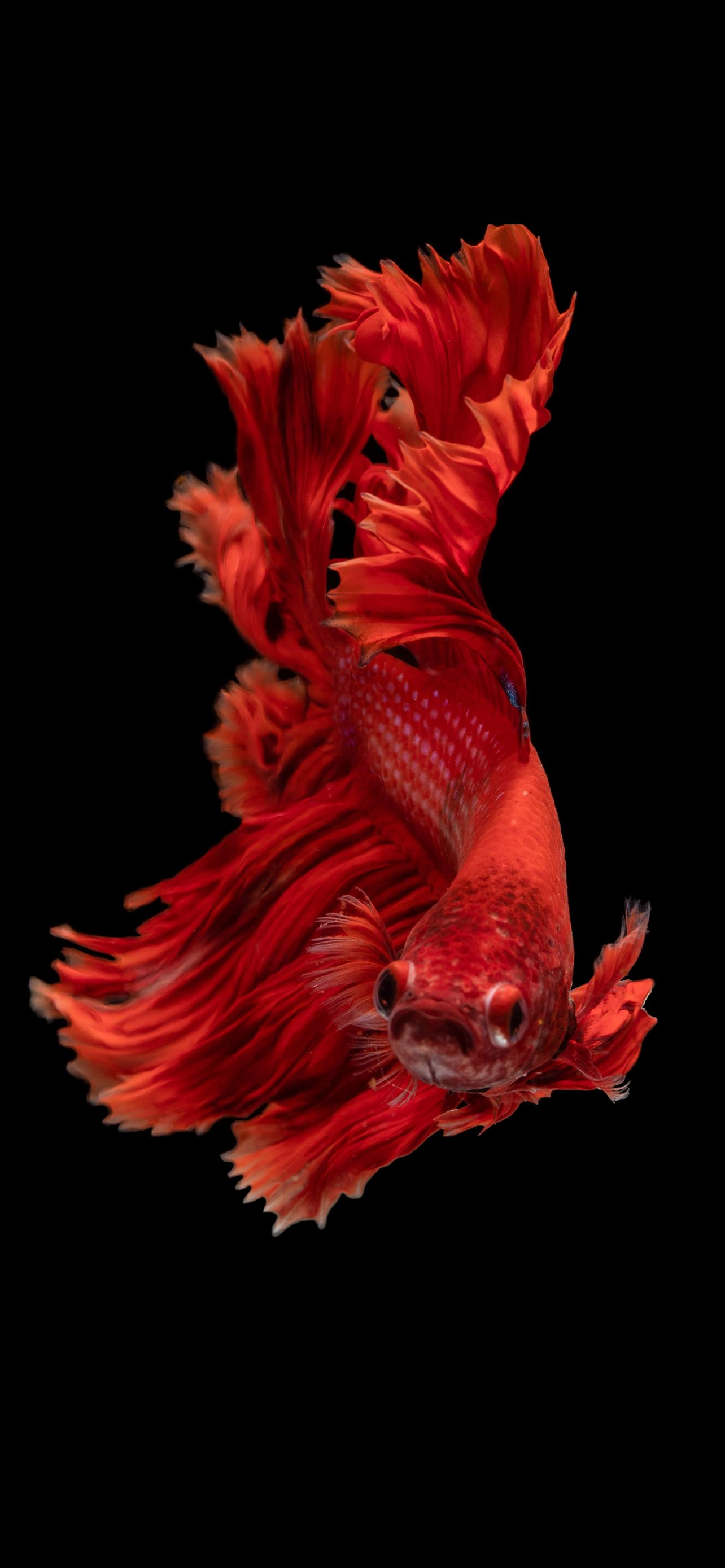 red Siamese fighting fish iPhone 12 Wallpapers Free Download