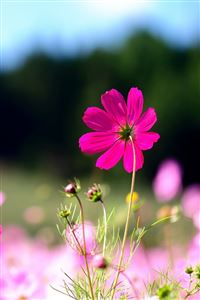 Pink Cosmos Flowers iPhone 4s wallpaper