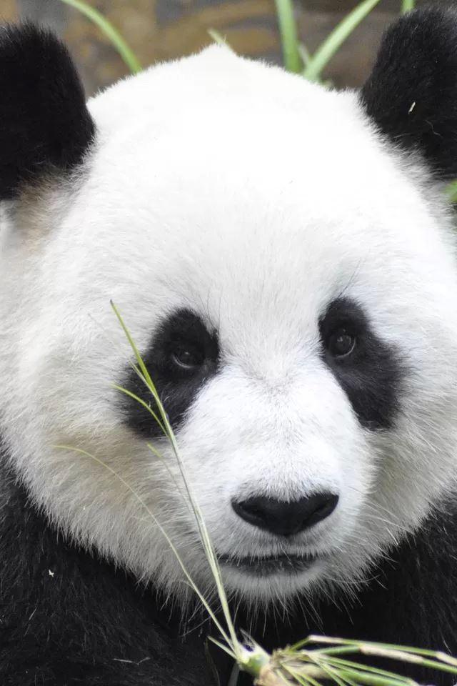 Cute panda iPhone 4s wallpaper