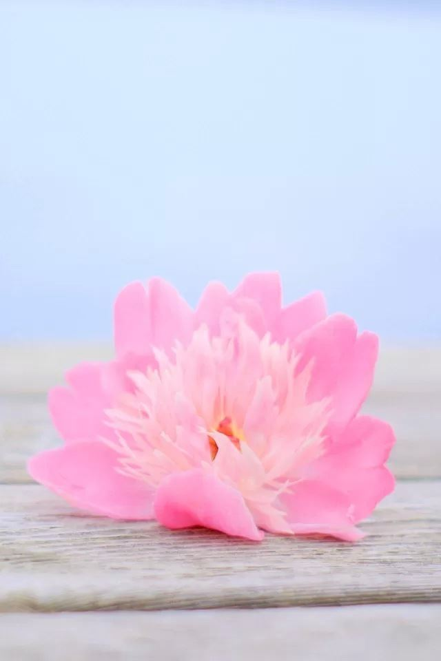 Pink flower iphone 4s wallpaper download iphone wallpapers ipad pink flower iphone 4s wallpaper mightylinksfo
