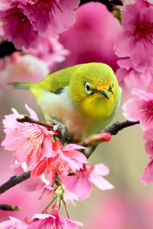 Lovely Japanese White Eye Bird Iphone 4s Wallpapers Free Download