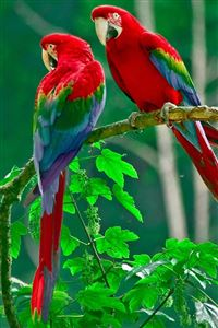 Parrot iPhone 4s wallpaper