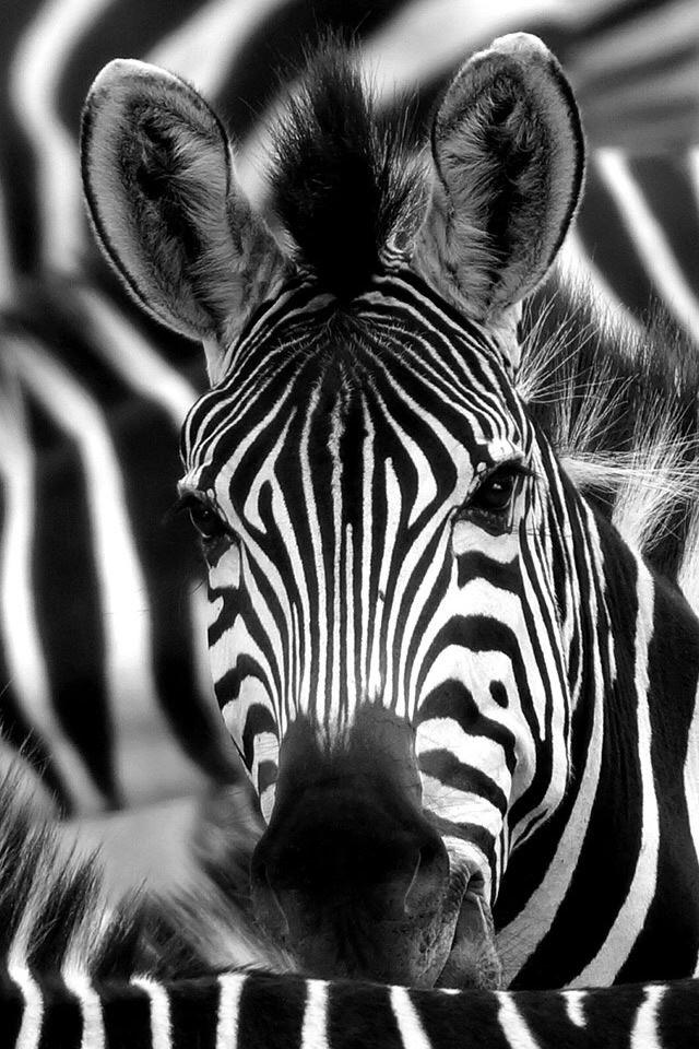 Zebra Face Macro Iphone 4s Wallpapers Free Download