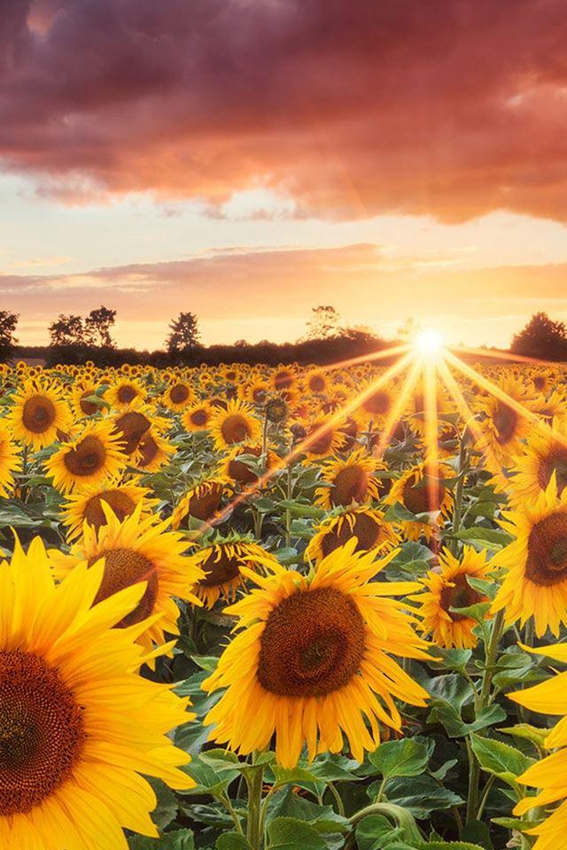 Splendid Sunflower Field Under Sunset iPhone 4s Wallpapers ...