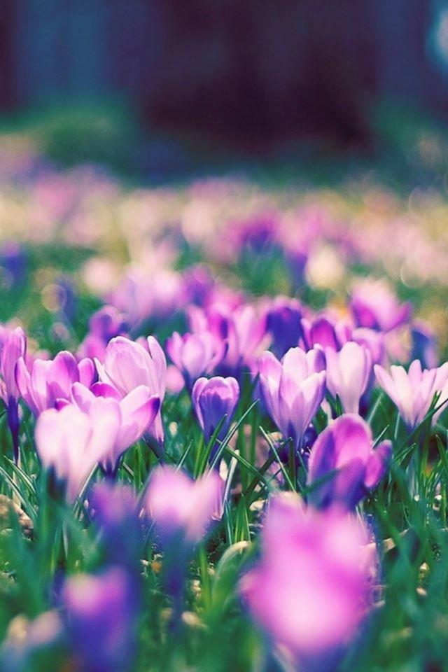Wallpaper violet flower garden flowers healthy purple flower garden blur iphone 4s wallpaper mightylinksfo