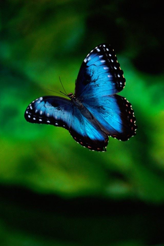 Blue Butterfly Iphone 4s Wallpapers Free Download