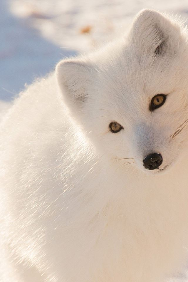 Winter Animal Fox White iPhone 4s wallpaper