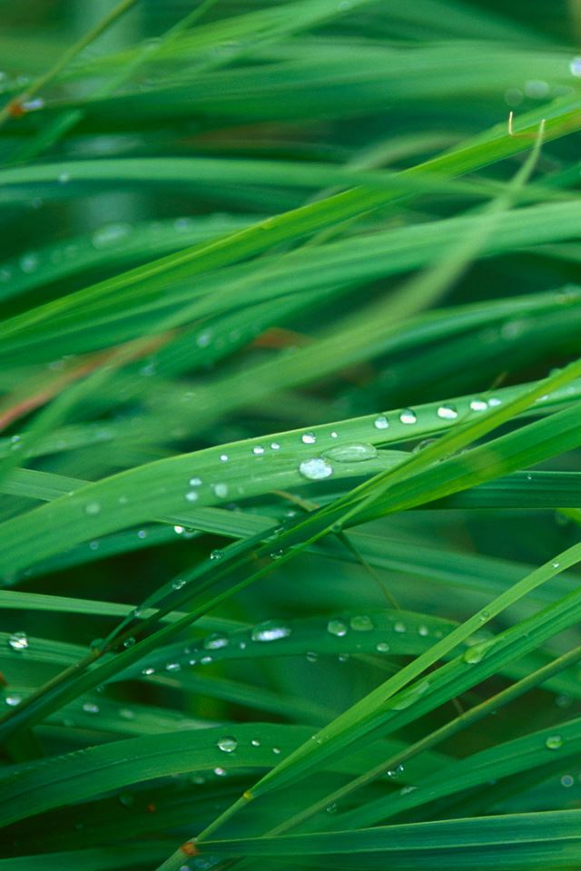 Grass Blades iPhone 4s wallpaper