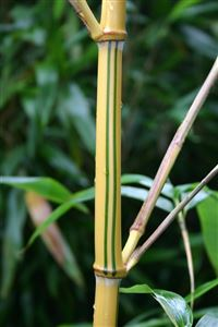 Young Bamboo iPhone 4s wallpaper