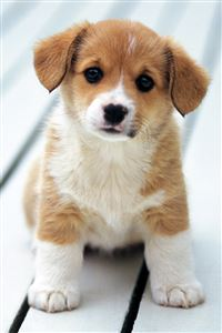 Cute Puppy iPhone 4s wallpaper