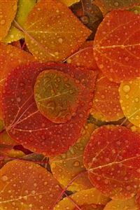 Orange Leaves iPhone 4s wallpaper