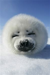 Cute Seal iPhone 4s wallpaper