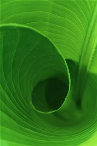 Curled Leaf iPhone 4s wallpaper