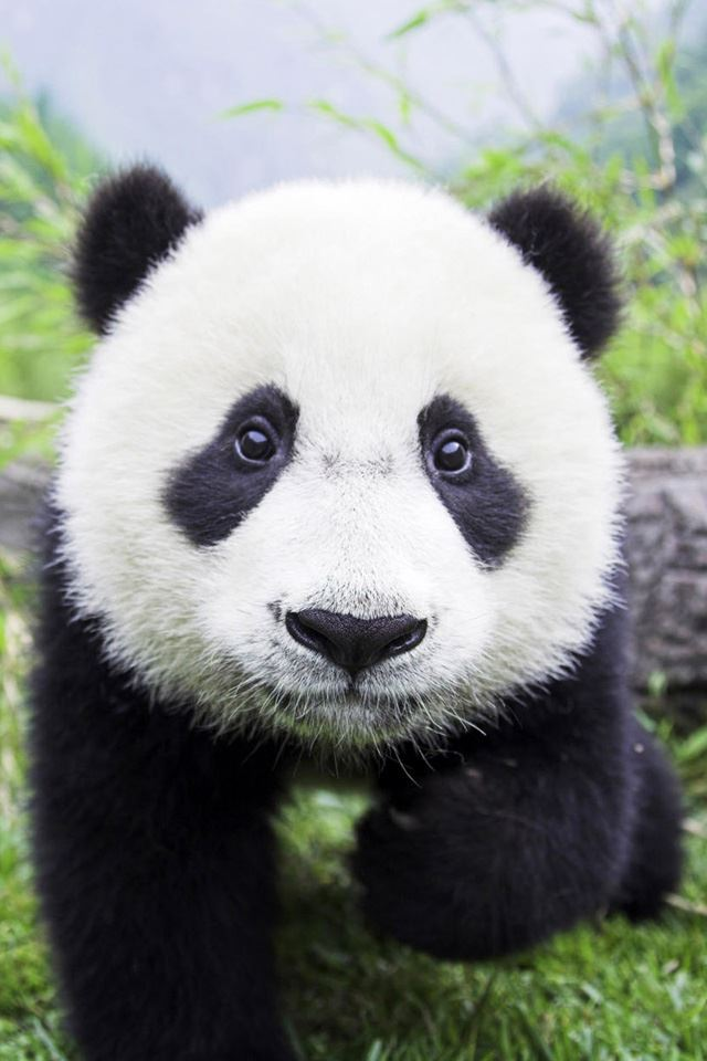 Panda Bear Closeup iPhone 4s wallpaper