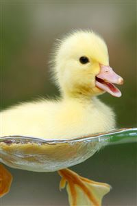 Yellow Duckling iPhone 4s wallpaper