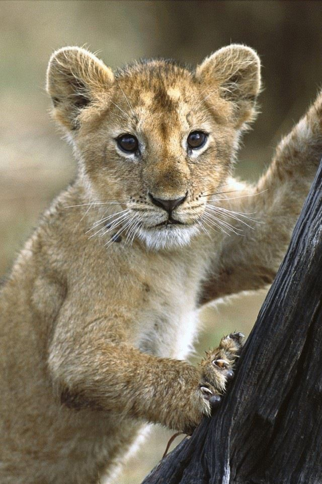Lion Cub Iphone 4s Wallpaper Download Iphone Wallpapers Ipad