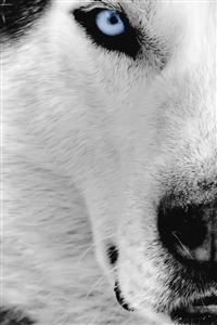Siberian Husky iPhone 4s wallpaper