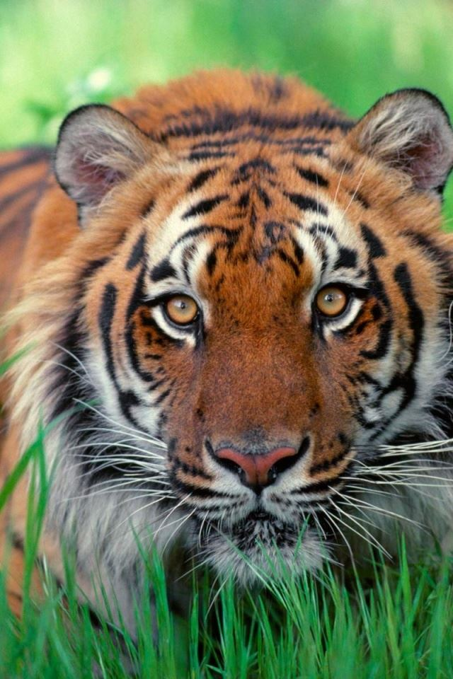 Sumatran Tiger Iphone 4s Wallpapers Free Download