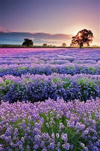 Lavender in Provence iPhone 4s wallpaper