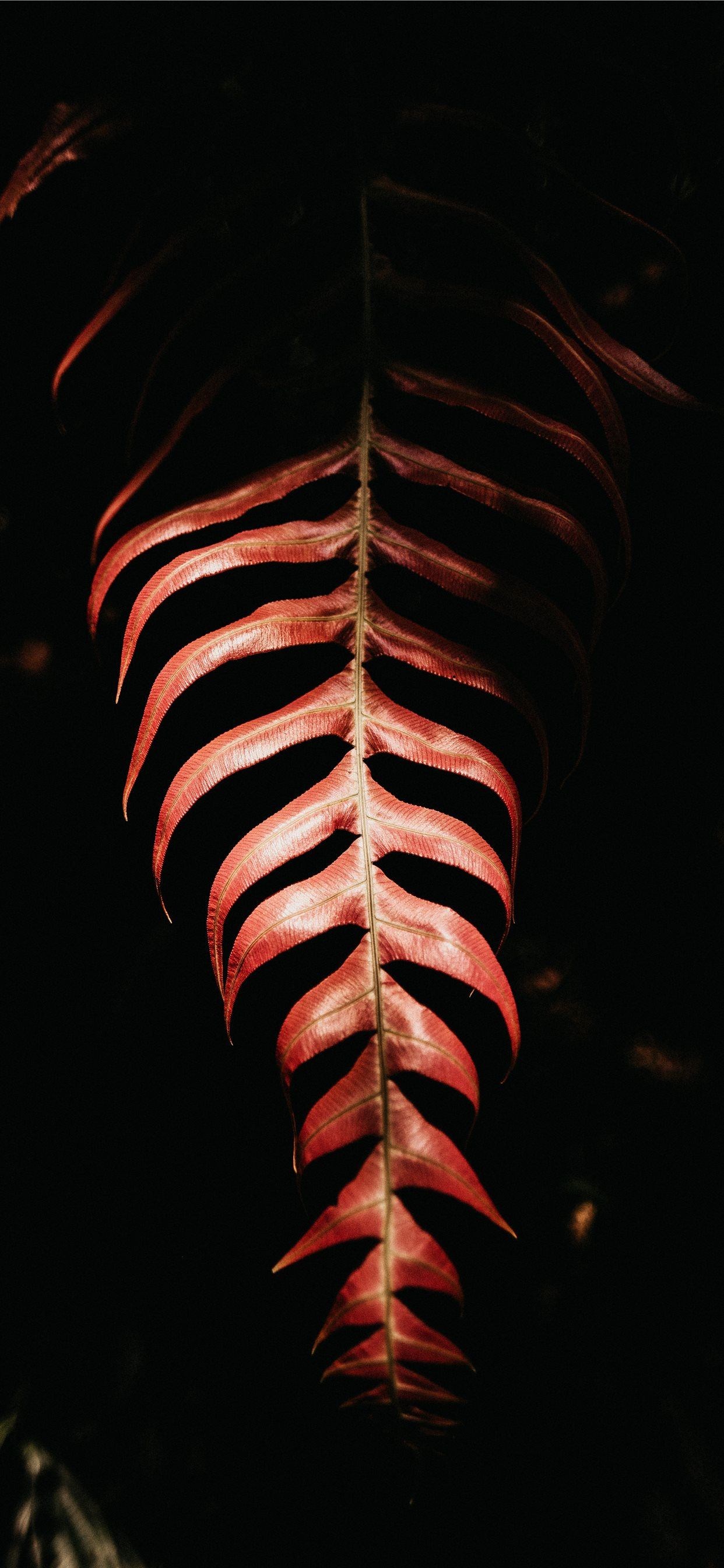 Red Leaf On Black Background Iphone Wallpapers Free Download