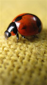 Ladybird On Flax  iPhone 6(s)~8(s) wallpaper
