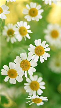 Nature White Daisy Flower iPhone 6(s)~8(s) wallpaper