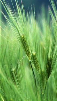Wheat Macro iPhone 6(s)~8(s) wallpaper