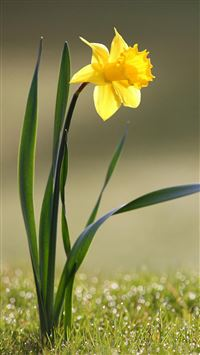 Narcissus Macro iPhone wallpaper