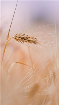 Wheat In Field iPhone 6(s)~8(s) wallpaper
